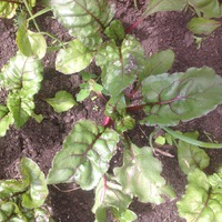 Выращивание салата и свеклы: рассадный и безрассадный способ.