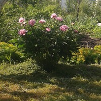 Легкая, красивая и надежная опора для цветущего травянистого пиона
