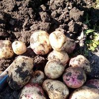 Первый урожай картошки