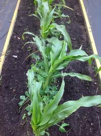 Эксперимент с рассадой кукурузы