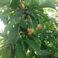 Зреют вишни)))