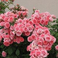 """Роза """"Кимоно""""."""