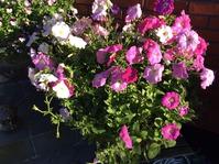 Пришло время показать вам свою петунию и мои цветы на новой клумбе.