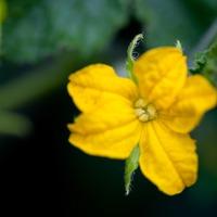Пустоцветы и другие проблемы на огуречных грядках