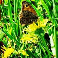 Бабочки на цветах.
