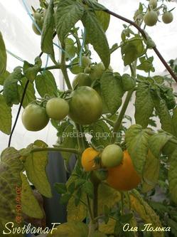 Начали спеть томаты