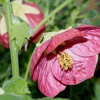 Клен комнатный – рекордсмен по продолжительности цветения