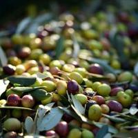 Оливки из Испании на наших дачах!