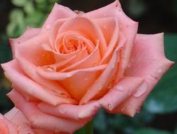 Выбираем розу с длительным цветением