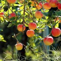 Как ухаживать за яблоней?