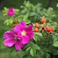 Живая изгородь из шиповника – красивая защита