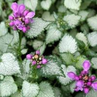 Растения семейства Яснотковые