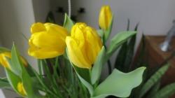 Поздравляю с 8 марта и результаты выгонки моих тюльпанов и других