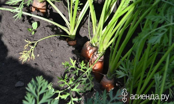 Выращиваем сочную Морковь