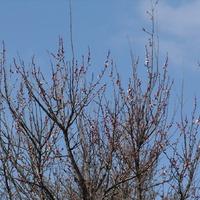 Зацветает абрикос
