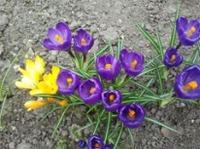 Зацвели первые весенние цветы...