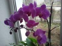 Цветет орхидея и амариллис...