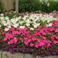 Бальзамин – комнатный и садовый, сорта бальзамина, фото ...