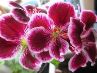 Как вырастить пышные кустики пеларгонии
