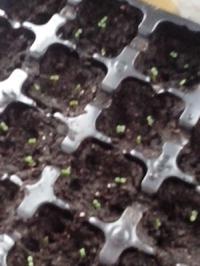 Это моя первая в жизни садовая земляника