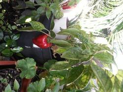 Мой карликовый болгарский перец