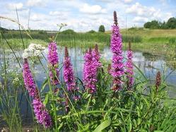 Цветущие растения влажных мест