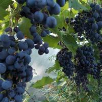 Ухабистая судьба Винограда
