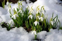 Польза и вред цветка из-под снега