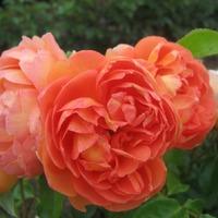 Как правильно выбрать саженец розы. Схема посадки