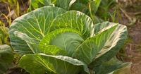 Разные полезности - Как бороться с гусеницами на капусте.