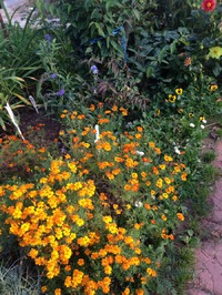 Такие разные и прекрасные бархатцы для моего сада
