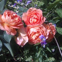 Новые розы - новые заботы и любования