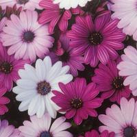 Остеоспермум- неприглядное название чудестного цветка!