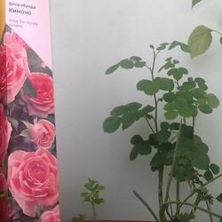 Черенкование розы, купленной в феврале