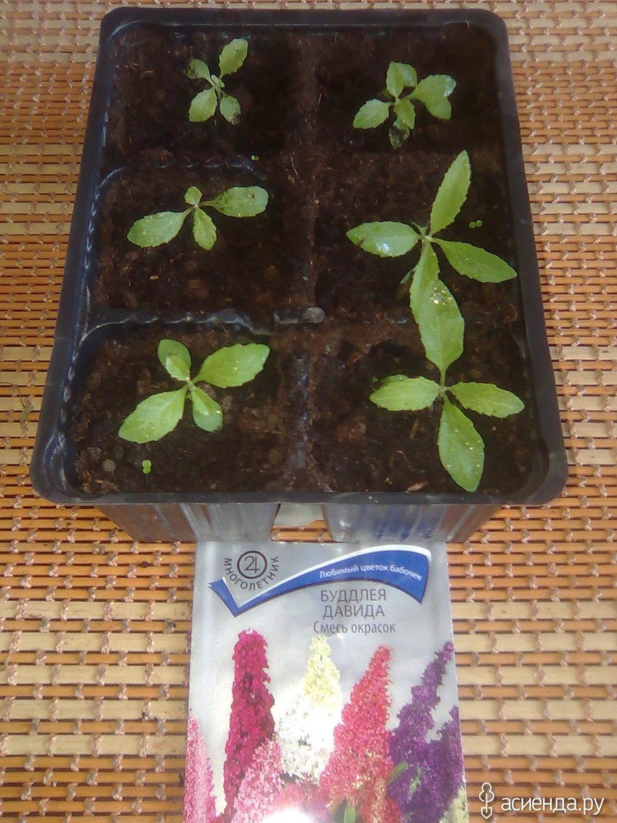 как вырастить будлею из семян