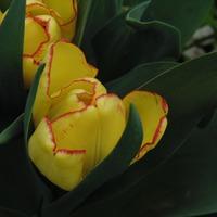 Тюльпан Cape Town - как поцелуй весны.