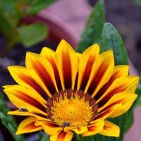 Гацания- солнечный цветок!
