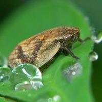 Лепирония жесткокрылая - опасный вредитель