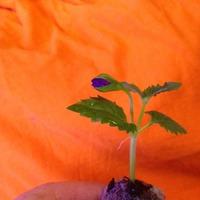 Торения -постоянство в садовых отношениях!