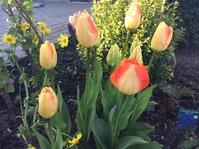 А у меня первые тюльпаны зацвели.