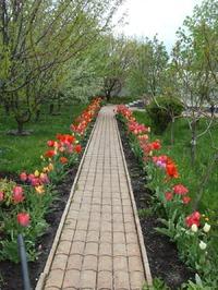 Отцветают первые тюльпаны