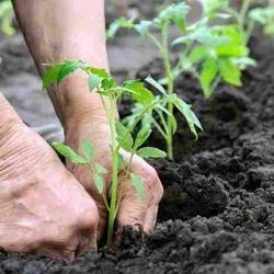 Высадка томатов в теплицу. Уход за растениями
