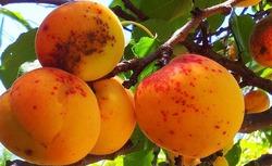 Как распознать болезни абрикоса?