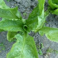 Как распознать болезни салата?