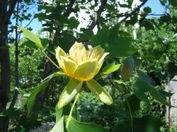 Сегодня, в День Победы, раскрылся первый цветок на тюльпановом дереве!