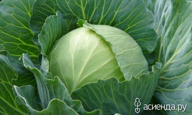 Как вырастить белокочанную капусту