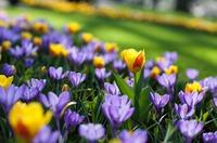 Вопрос по тюльпанам и крокусам