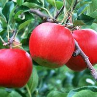 Вредоносный бурый плодовый клещ