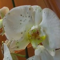 Как распознать болезни орхидей?
