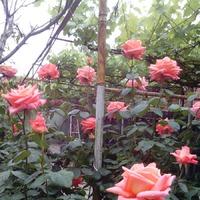 Вот такие у меня розы